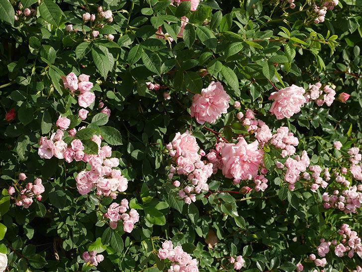 フランソワ・ジュランヴィル(ツルバラ)の花が増えてきた。2020年-6.jpg