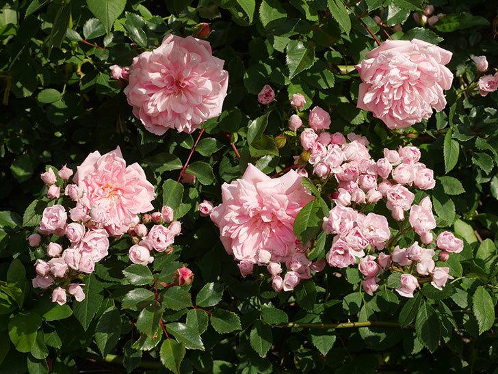 フランソワ・ジュランヴィル(ツルバラ)の花が増えてきた。2020年-7.jpg