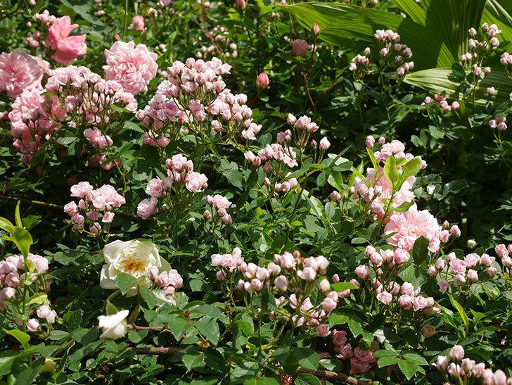 フランソワ・ジュランヴィル(ツルバラ)の花が増えてきた。2020年-8.jpg