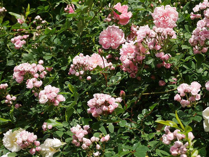 フランソワ・ジュランヴィル(ツルバラ)の花が増えてきた。2020年-9.jpg
