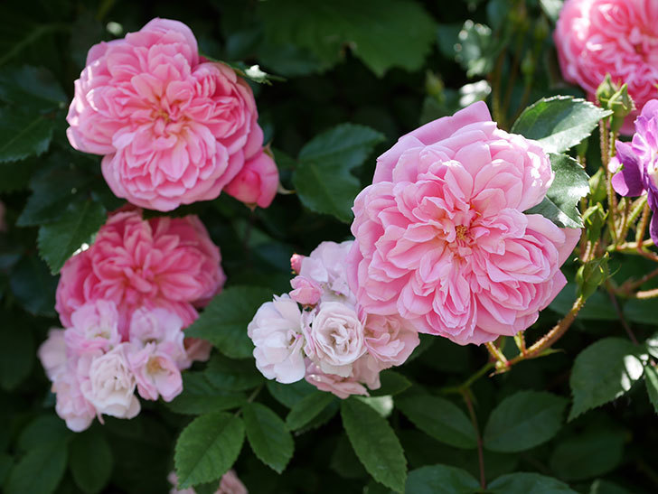フランソワ・ジュランヴィル(ツルバラ)の花が増えて来た。2018年-1.jpg