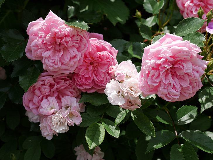フランソワ・ジュランヴィル(ツルバラ)の花が増えて来た。2018年-12.jpg