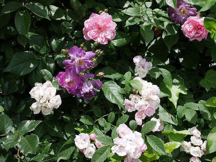 フランソワ・ジュランヴィル(ツルバラ)の花が増えて来た。2018年-13.jpg
