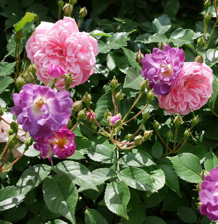 フランソワ・ジュランヴィル(ツルバラ)の花が増えて来た。2018年-14.jpg