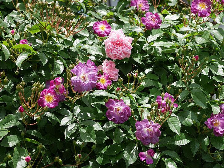 フランソワ・ジュランヴィル(ツルバラ)の花が増えて来た。2018年-15.jpg
