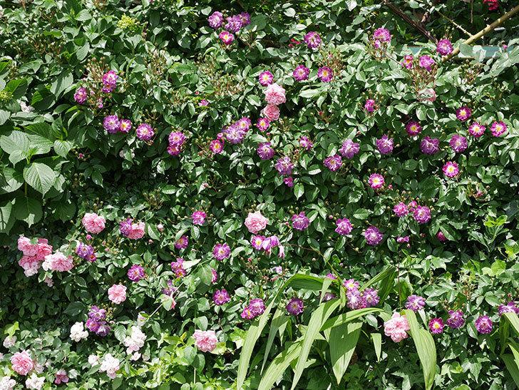 フランソワ・ジュランヴィル(ツルバラ)の花が増えて来た。2018年-16.jpg