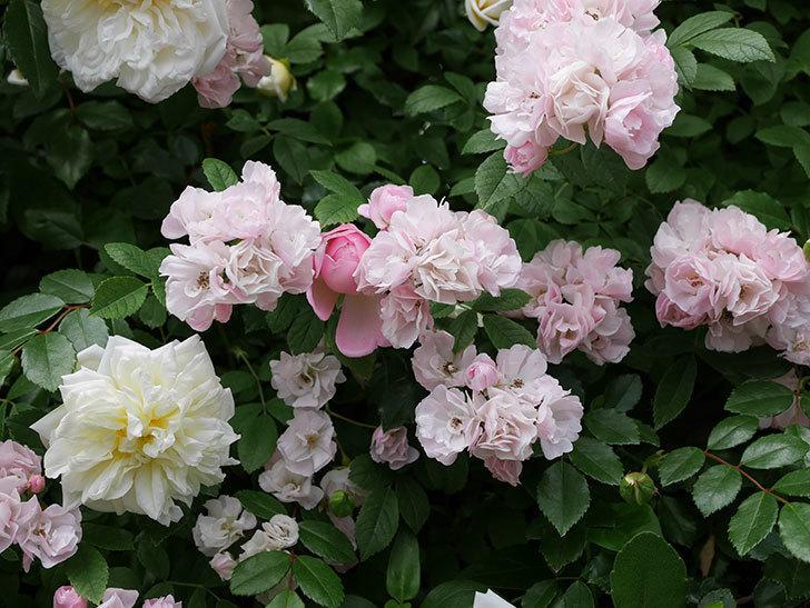フランソワ・ジュランヴィル(ツルバラ)の花が増えて来た。2018年-17.jpg