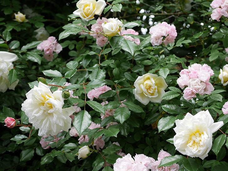 フランソワ・ジュランヴィル(ツルバラ)の花が増えて来た。2018年-18.jpg