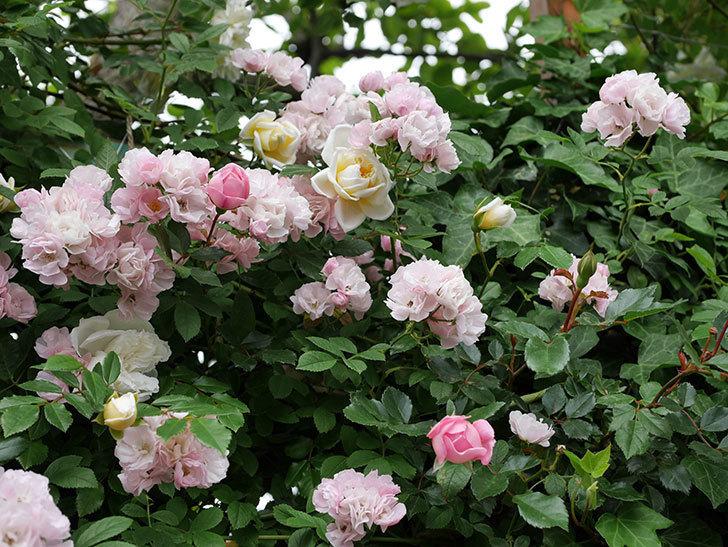 フランソワ・ジュランヴィル(ツルバラ)の花が増えて来た。2018年-19.jpg