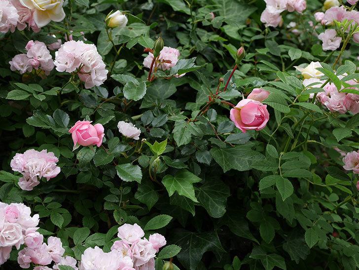 フランソワ・ジュランヴィル(ツルバラ)の花が増えて来た。2018年-20.jpg