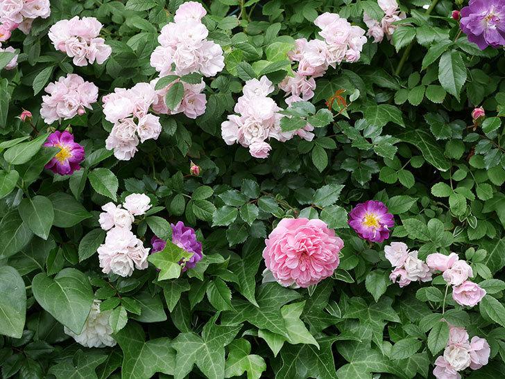 フランソワ・ジュランヴィル(ツルバラ)の花が増えて来た。2018年-21.jpg