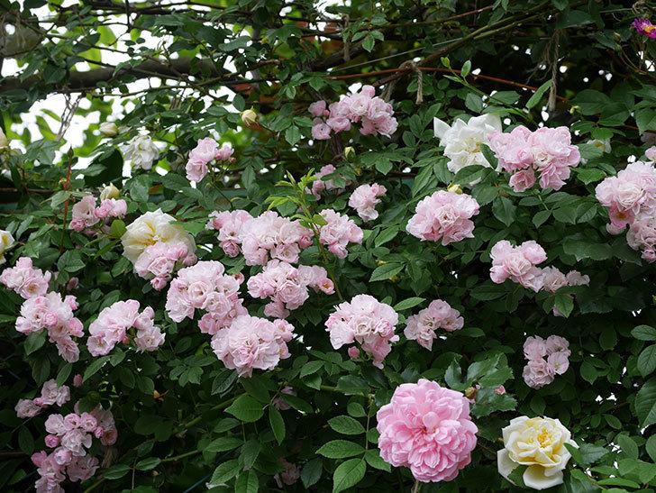 フランソワ・ジュランヴィル(ツルバラ)の花が増えて来た。2018年-22.jpg