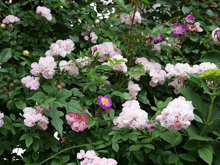 フランソワ・ジュランヴィル(ツルバラ)の花が増えて来た。2018年-23.jpg