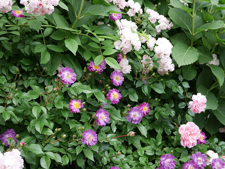 フランソワ・ジュランヴィル(ツルバラ)の花が増えて来た。2018年-25.jpg