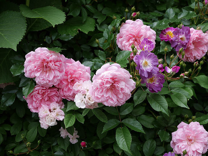 フランソワ・ジュランヴィル(ツルバラ)の花が増えて来た。2018年-28.jpg