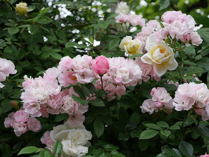 フランソワ・ジュランヴィル(ツルバラ)の花が増えて来た。2018年-33.jpg