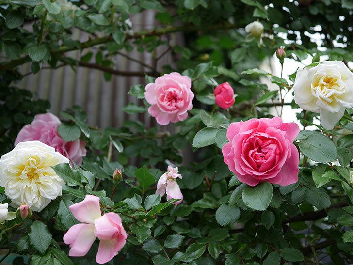 フランソワ・ジュランヴィル(ツルバラ)の花が増えて来た。2018年-35.jpg