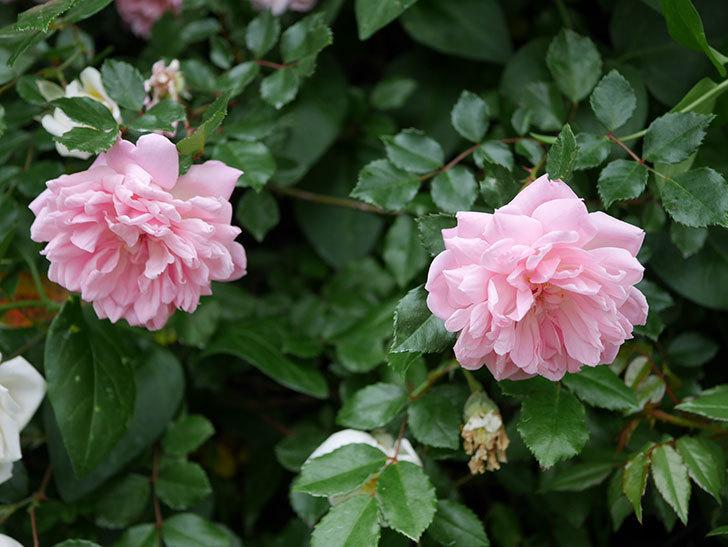 フランソワ・ジュランヴィル(ツルバラ)の花が増えて来た。2018年-36.jpg