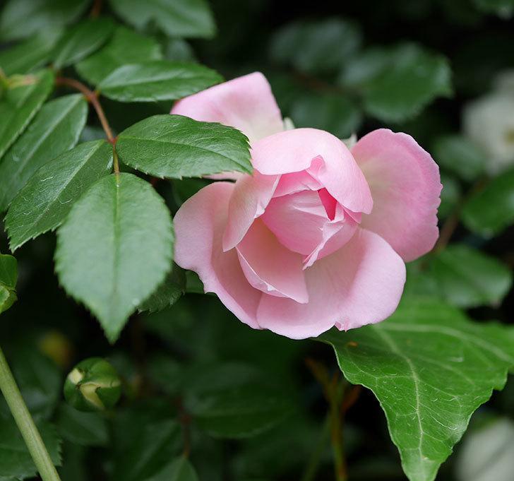 フランソワ・ジュランヴィル(ツルバラ)の花が増えて来た。2018年-37.jpg
