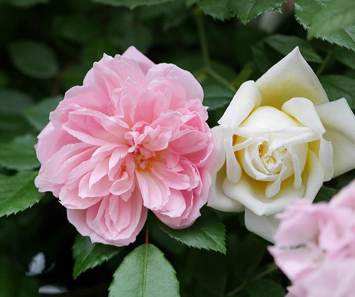 フランソワ・ジュランヴィル(ツルバラ)の花が増えて来た。2018年-38.jpg
