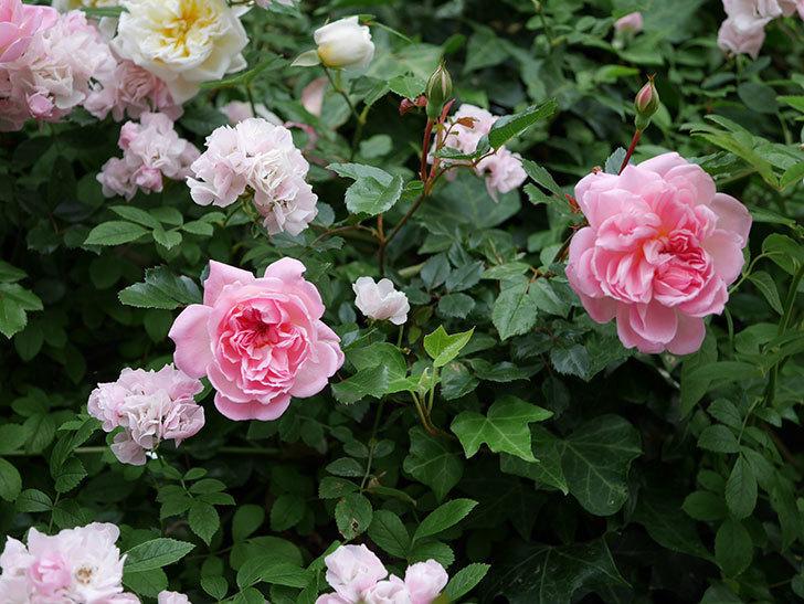 フランソワ・ジュランヴィル(ツルバラ)の花が増えて来た。2018年-39.jpg