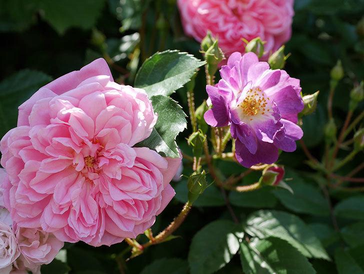フランソワ・ジュランヴィル(ツルバラ)の花が増えて来た。2018年-4.jpg