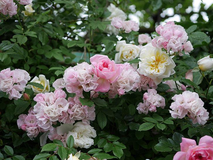 フランソワ・ジュランヴィル(ツルバラ)の花が増えて来た。2018年-40.jpg