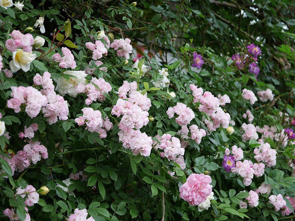フランソワ・ジュランヴィル(ツルバラ)の花が増えて来た。2018年-41.jpg