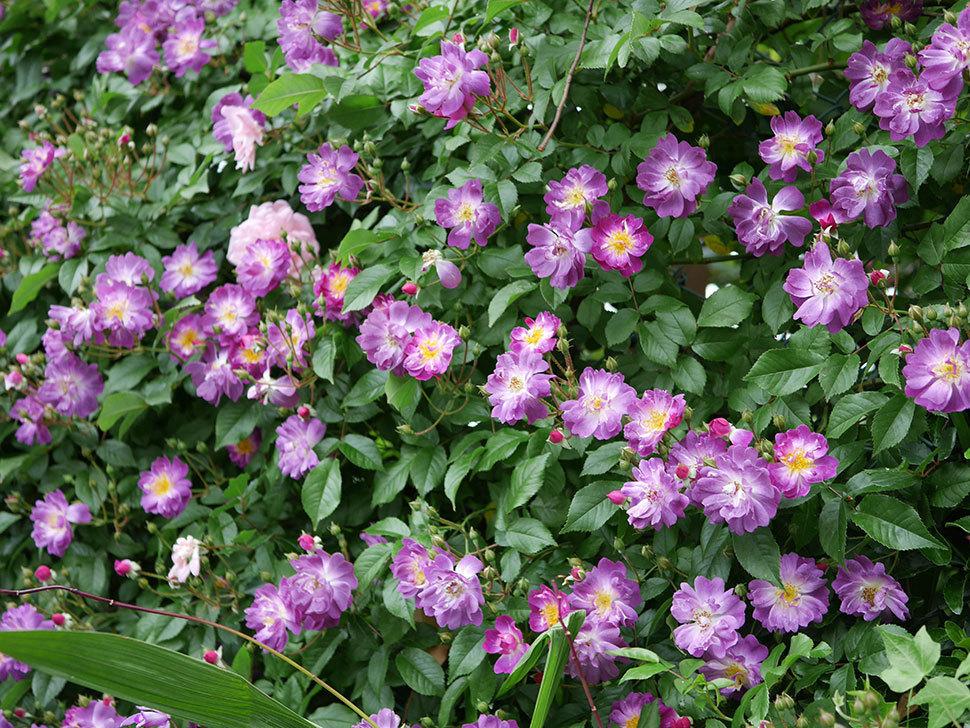 フランソワ・ジュランヴィル(ツルバラ)の花が増えて来た。2018年-43.jpg