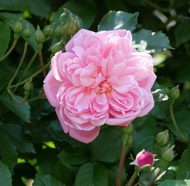 フランソワ・ジュランヴィル(ツルバラ)の花が増えて来た。2018年-5.jpg