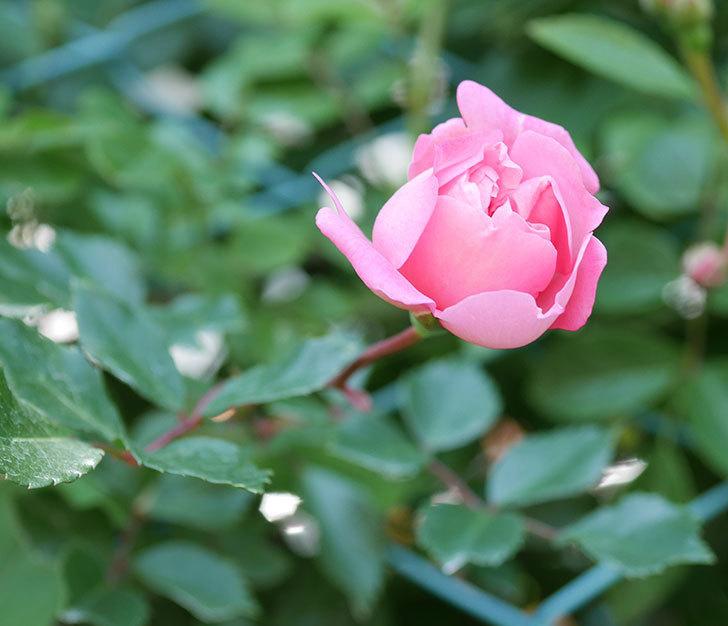 フランソワ・ジュランヴィル(ツルバラ)の花が増えて来た。2018年-6.jpg