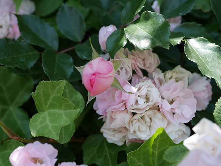 フランソワ・ジュランヴィル(ツルバラ)の花が増えて来た。2018年-7.jpg