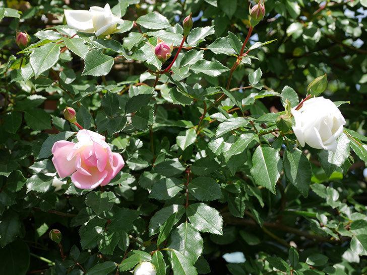 フランソワ・ジュランヴィル(ツルバラ)の花が増えて来た。2018年-8.jpg