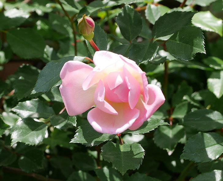 フランソワ・ジュランヴィル(ツルバラ)の花が増えて来た。2018年-9.jpg
