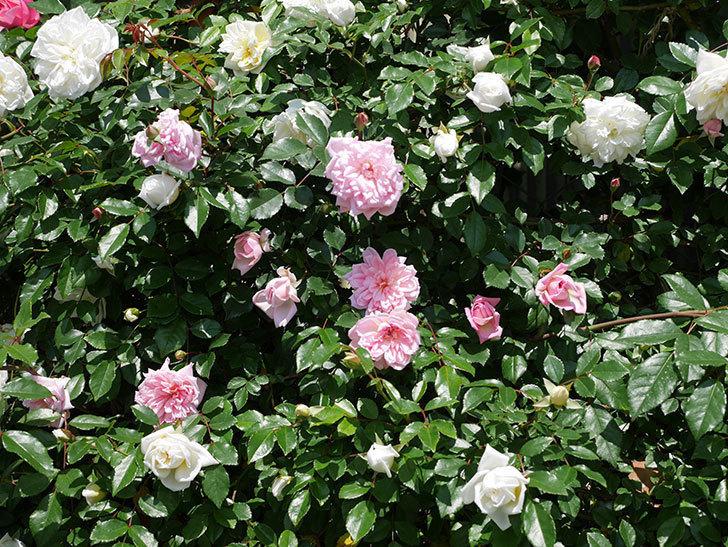フランソワ・ジュランヴィル(ツルバラ)の花が増えて来た。2019年-1.jpg