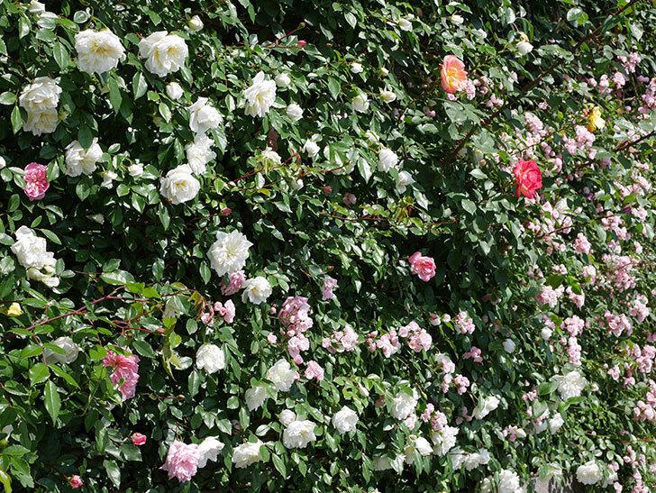 フランソワ・ジュランヴィル(ツルバラ)の花が増えて来た。2019年-10.jpg
