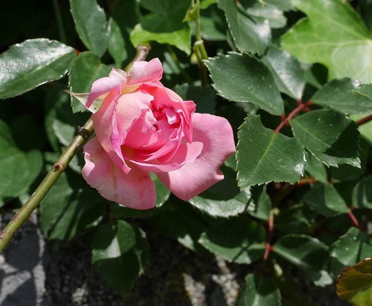 フランソワ・ジュランヴィル(ツルバラ)の花が増えて来た。2019年-11.jpg