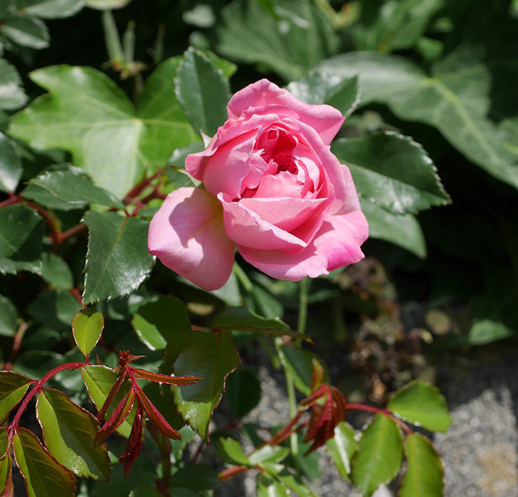 フランソワ・ジュランヴィル(ツルバラ)の花が増えて来た。2019年-12.jpg