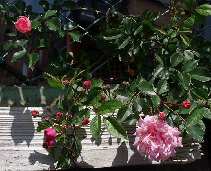 フランソワ・ジュランヴィル(ツルバラ)の花が増えて来た。2019年-13.jpg