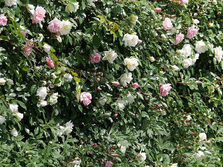 フランソワ・ジュランヴィル(ツルバラ)の花が増えて来た。2019年-14.jpg