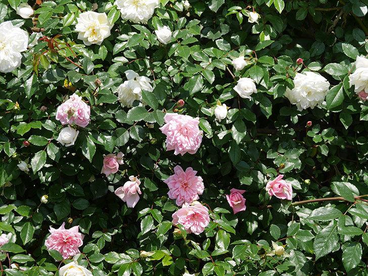 フランソワ・ジュランヴィル(ツルバラ)の花が増えて来た。2019年-15.jpg