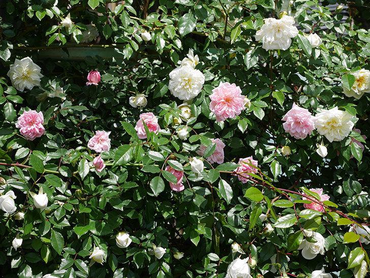 フランソワ・ジュランヴィル(ツルバラ)の花が増えて来た。2019年-2.jpg