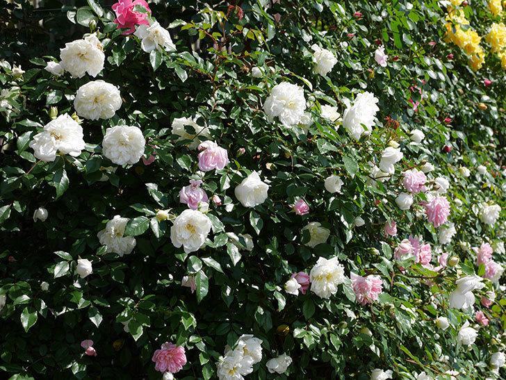 フランソワ・ジュランヴィル(ツルバラ)の花が増えて来た。2019年-3.jpg