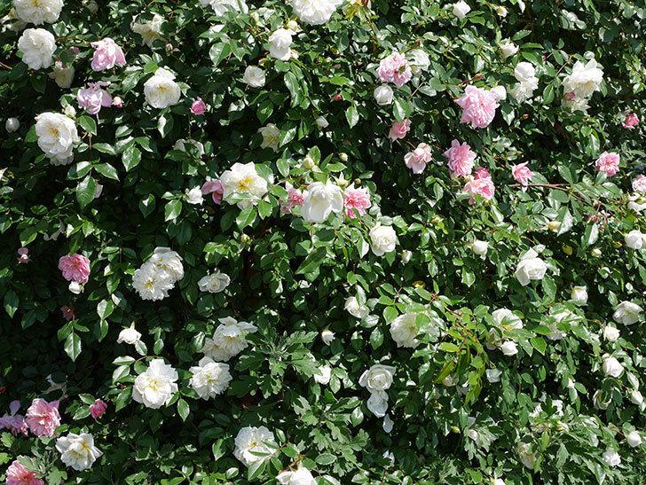フランソワ・ジュランヴィル(ツルバラ)の花が増えて来た。2019年-4.jpg
