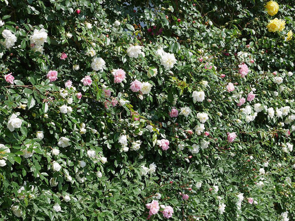 フランソワ・ジュランヴィル(ツルバラ)の花が増えて来た。2019年-5.jpg
