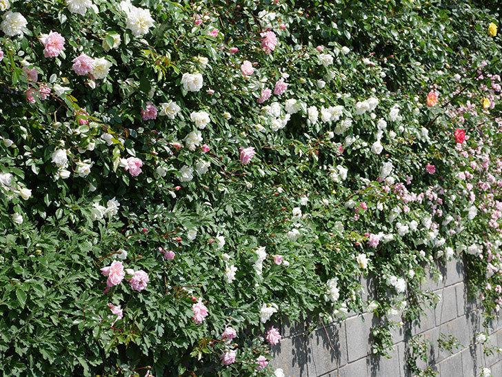 フランソワ・ジュランヴィル(ツルバラ)の花が増えて来た。2019年-6.jpg