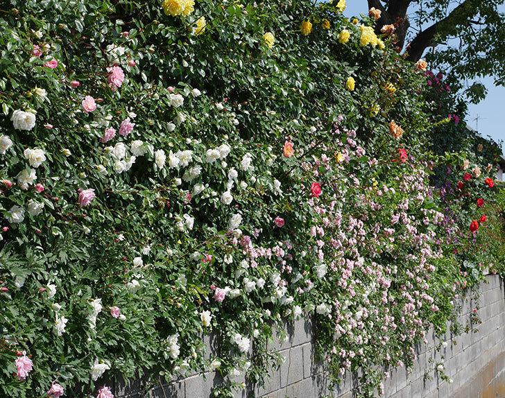 フランソワ・ジュランヴィル(ツルバラ)の花が増えて来た。2019年-7.jpg