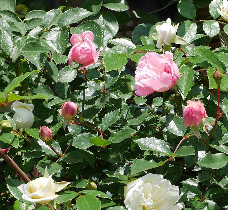 フランソワ・ジュランヴィル(ツルバラ)の花が増えて来た。2019年-8.jpg