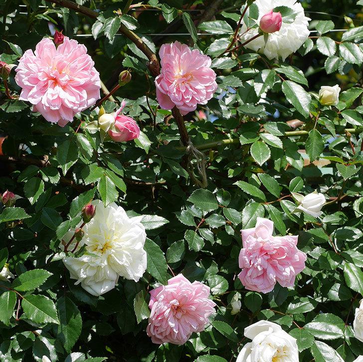 フランソワ・ジュランヴィル(ツルバラ)の花が増えて来た。2019年-9.jpg
