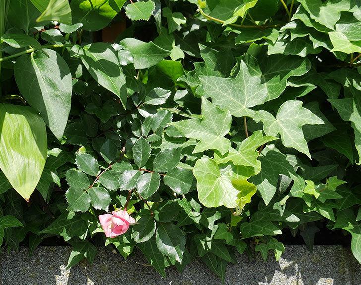 フランソワ・ジュランヴィル(ツルバラ)の花が少し咲いた。2018年-3.jpg